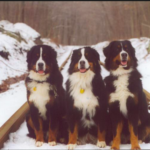 top8dobreeds-Bernese Mountain Dog
