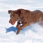 top8dogbreeds-chesapeakbayretriever