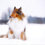 top8dogbreeds-Collie