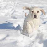 Top8dogbreeds-LabradorRetriever