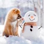 top8dogbreeds-ShibaInu
