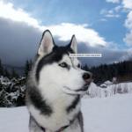 top8dogbreeds- Siberian Husky