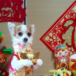 dog news Chinese New Year
