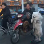 dog news scooter rider