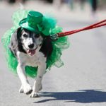 dog news St-patrick day