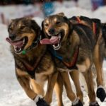 Dog News Alaska Iditarod