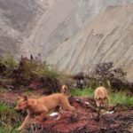 dog news new guinea pups
