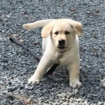 dog news labrador