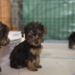 dog news puppy mills