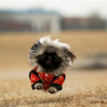 dog news pekingese