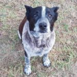 dog-news-loyal-dog-Australia
