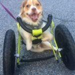 dog-news-disableddog