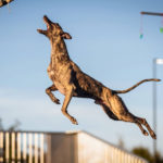 dog_news_dockdiving