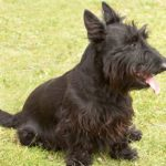 Scottie_dog
