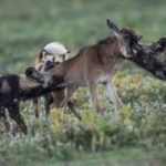 Africa-wild-dog