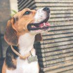 Dog -rescue-beagles