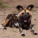 african-painted -dog