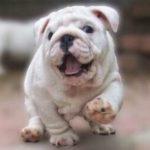 bulldog-Boston