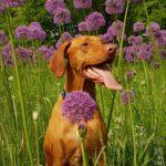 dog star summer