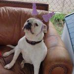 Lili-bulldog-six-years-waiting-for-adoption