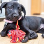 puppy with six legs finds forever home