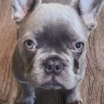 Happy ending to latest dog theft: French bulldog puppy found after North Hollywood robbery.