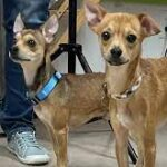 Young Chihuahua duo find a new home!