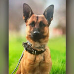 Hero K9 stabbed multiple times by suspect in west central Fresno, police say.
