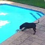 Dog Rescues Drowning Puppy From Swimming Pool in Incredible Video.