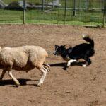 Dog Whisperer: Sheep herding for city dogs.