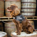 Meet Rocco, the cocker spaniel who works at a whisky distillery.