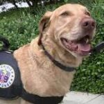 Teddy, The Crisis Response Dog, Who Helped Surfside Families & First Responders In Need Of Help Himself.