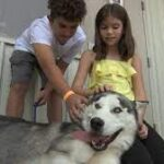 Abandoned Siberian Husky finds new home with local family.
