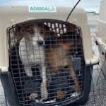 75 Dogs And Cats Brought Safely To Massachusetts Ahead Of Hurricane Ida.