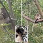 Puppy held hostage by wild monkey for three days before dramatic rescue.